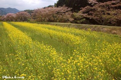 藤枝市藤太夫島・爛漫の菜の花畑と桜並木