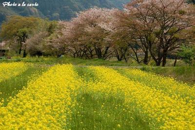 藤枝市藤太夫島・爛漫の菜の花畑と桜並木B