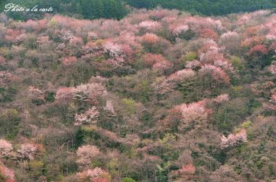 山桜・錦絵の如く