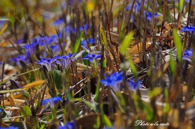 無数に点在する春竜胆群落