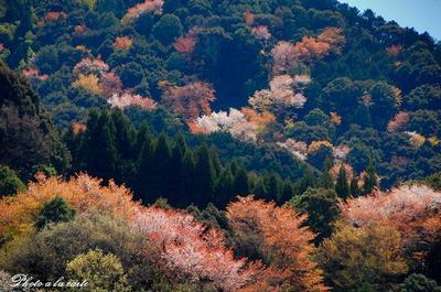 紅葉のように燃え盛る山桜