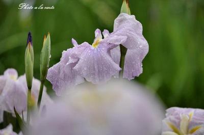 花菖蒲、雨滴の中で